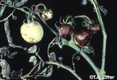 پاورپوینت پژمردگی آوندی گوجه فرنگی